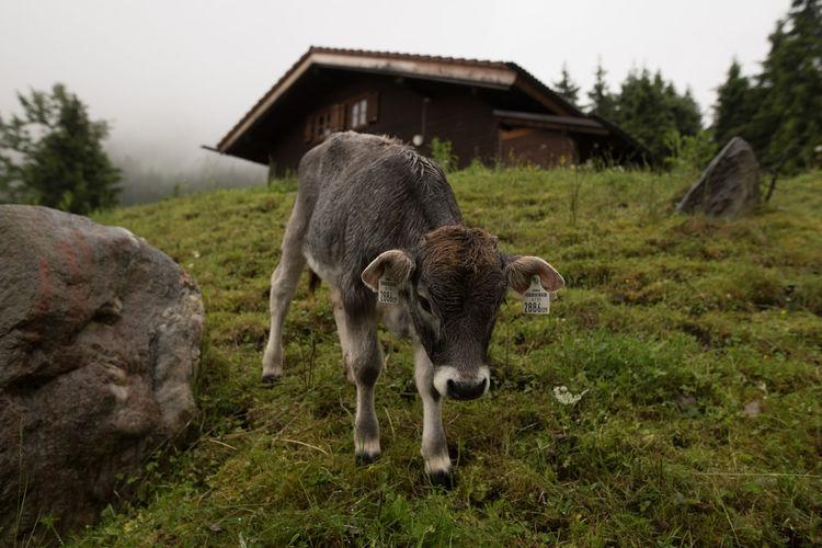 Calf Standing On Grassy Field