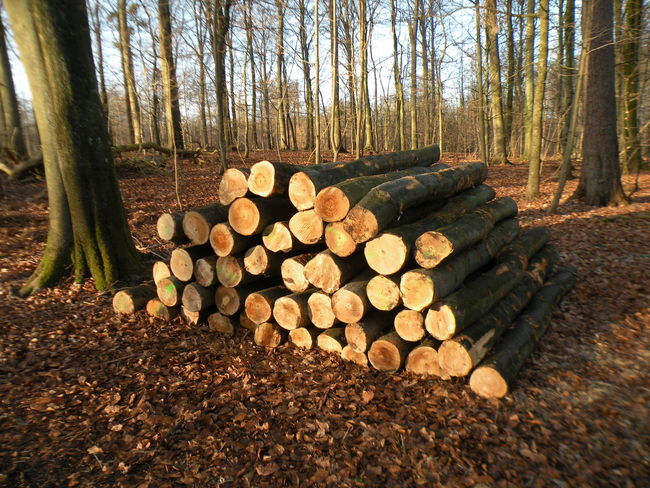 Log Firewood Timber Stack Woodpile Tree Tree Trunk Abundance Large Group Of Objects Nature Forest Heap No People Outdoors Day Bare Tree Spring Springtime Early Spring Sunny Sunny Day Forest Floor - in The Danish Countryside