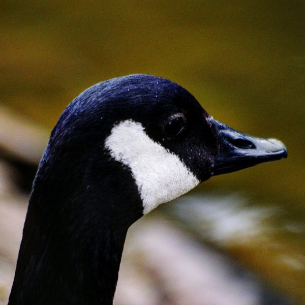 Canada geese/goose Birkenhead Birkenhead Park Wirral Bird Beak Black Color Close-up Canada Goose Goose Geese Water Bird