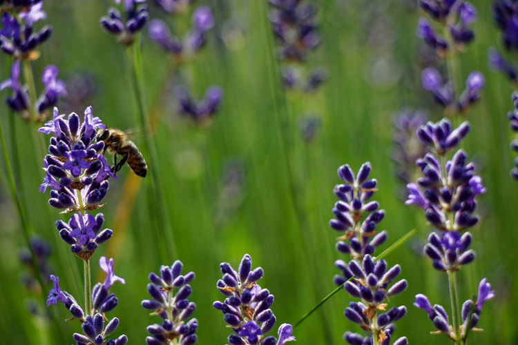 Close-up of bee pollinating on purple flowering plant