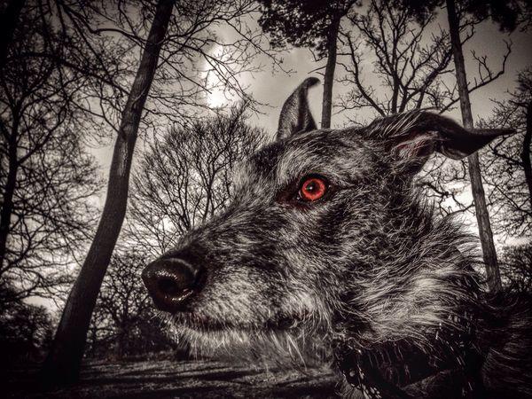 Hello World Animal Photography Animal Portrait LEO... The One Eyed Lurcher... Sighthound Lurcher Darkness And Light Hampton Hill Enjoying Life Pet Portraits