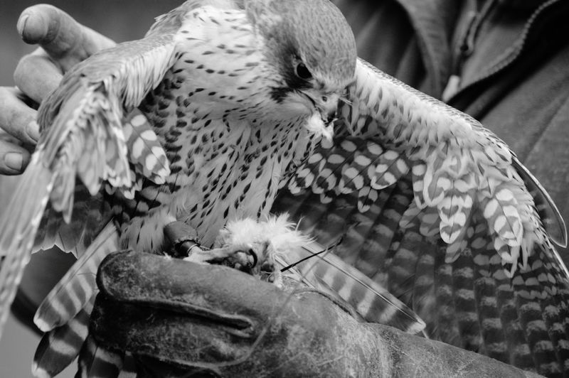 Close-up Eye4photography  Birds Of EyeEm  Birds Falconry Bird Photography Power In Nature Birds Of Prey Wildlife Photography Peregrine Falcon Raptor Lunch Carnivore Black And White Photography Black And White Bnw_captures EyeEm Best Shots - Black + White