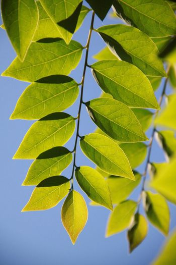 Star Gooseberry Leaf Growth Green Color Close-up Nature No People Day Plant Outdoors Freshness Beauty In Nature Sky