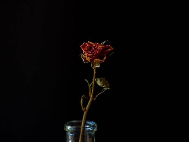 Flower Studio Shot Black Background Freshness Petal Fragility No People Close-up Nature Beauty In Nature Flower Head Indoors  Day