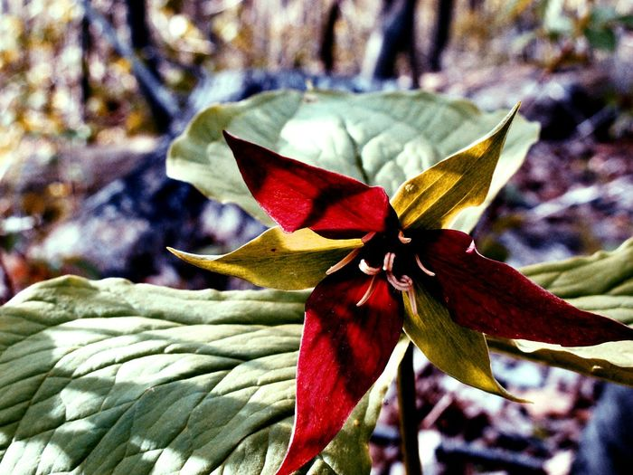 Trillium Nature Photography Natural Light Red Flower Flower Getoutside Optoutside Pennsylvania Beauty Pennsylvania Wildflower