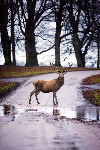 Crossing Deer