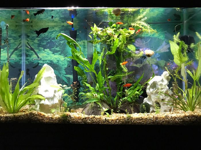 Fish Tank Aquarium Fish Platies Green Color Water Underwater No People Animal Themes Plant Plants Aquatic Plants