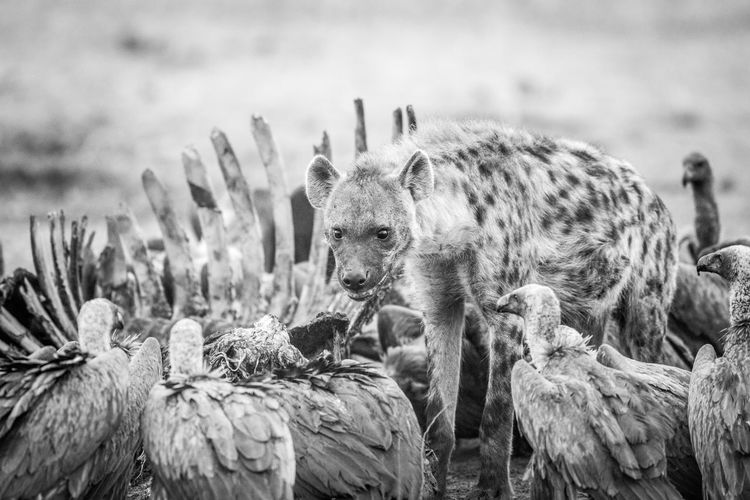 Hyena and vultures by prey on field