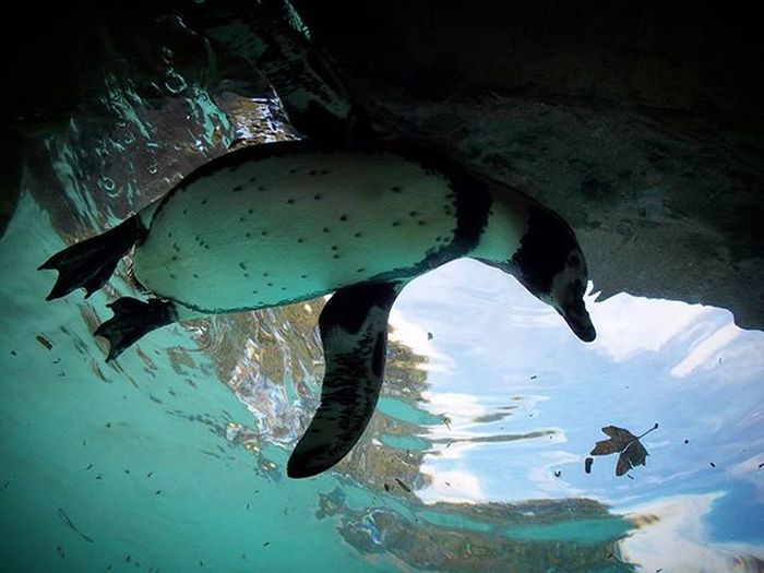 Londonzoo Penguin Pingüino DC Underwater London Water Batmanenemy Swimming