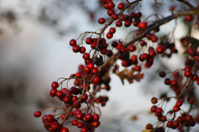 Beauty In Nature Berry Berry Fruit Fruit Hawthorn Nature No People Red Tree