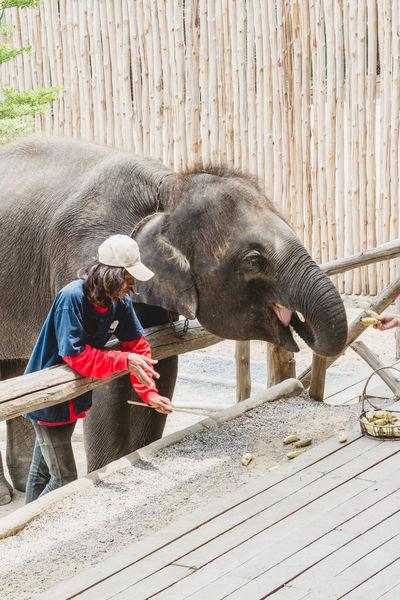 Elephant feeding Animal Feeding Animal Themes Animal Wildlife Day Domestic Animals Elephant Elephant Feeding Elephant Show Herbivorous Mammal One Animal Outdoors People Pets Real People Vertebrate Wood - Material