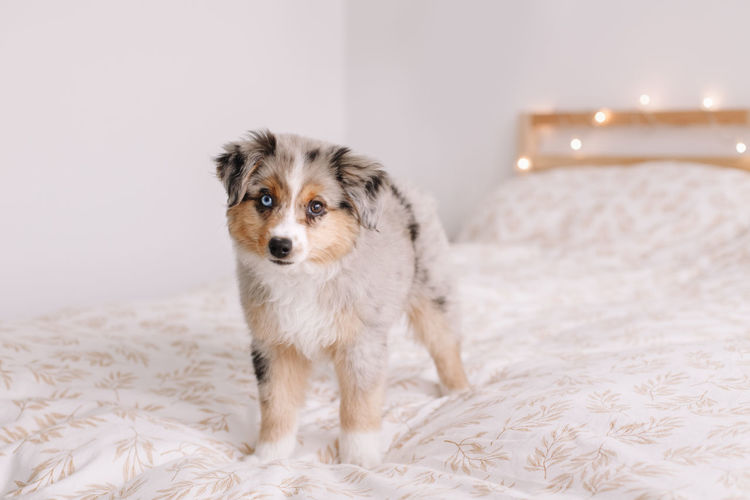 miniature australian shepherd dog pet on bed at home. christmas new year holiday celebration.