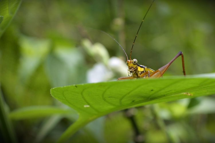 insect Animal Wildlife Animal Themes Animal Animals In The Wild One Animal Invertebrate Insect Green Color Plant Plant Part Leaf Close-up Nature Focus On Foreground Day No People Selective Focus Animal Body Part Grasshopper Outdoors Blade Of Grass
