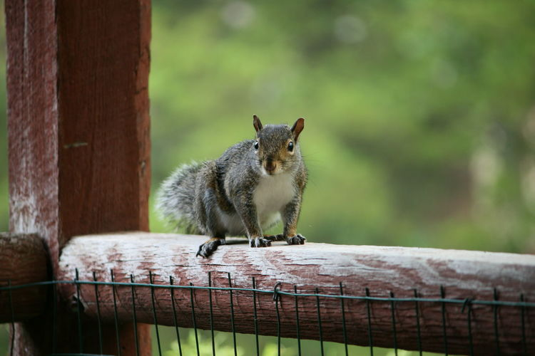 Animal Themes Animal Wildlife Animals In The Wild Close-up Day Fence Looking At Camera Mammal Nature No Filter No Edit No People One Animal Outdoors Porch Railing Squirrel