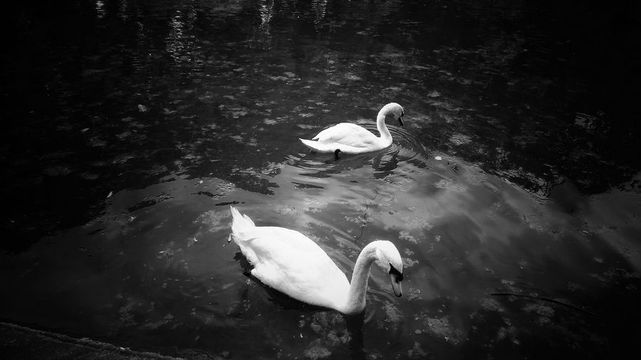 Blackandwhite Black And White Photography Reflections In The Water Water Reflections Park Walking Swans Swan Water Swimming Sea Life UnderSea Bird Underwater Animal Themes Floating In Water