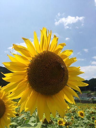 ひまわり ひまわり Sun Flower 空 Sky