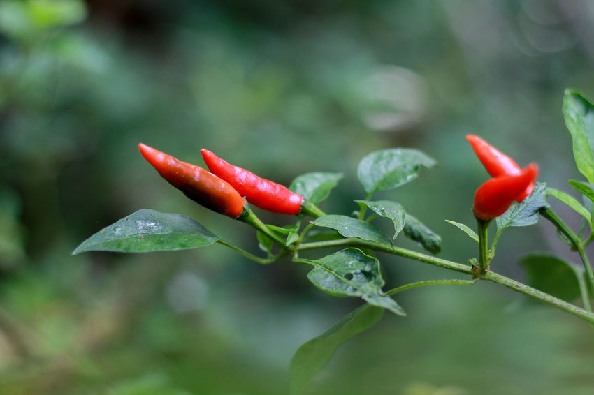 Chili Pepper Chili Peppers Chili Pepper Plant Red Hot Chili Peppers Red Hot Chili Red Pepper Growth Freshness Plant Green Color Plant Part Leaf Close-up Vegetable Spice Food And Drink Focus On Foreground Food Day Red Chili Pepper No People Beauty In Nature Nature