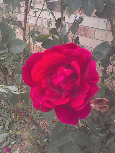 A Rosin Springtime