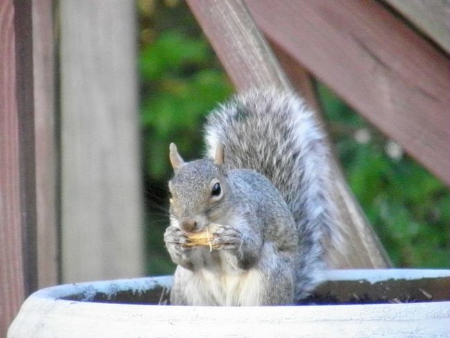 Gotcha! Squirrel 🐿 with a peanut close up focus on the foreground animal themes EyeEm nature lover Animal Wildlife Rodent One Animal Eating No People