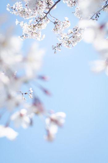 Cherry Blossoms Sakura Flower Fragility Blossom Beauty In Nature Cherry Blossom Springtime Tree Nature Freshness Cherry Tree Botany Petal