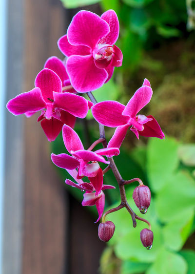 A group of pink orchids. Beauty In Nature Buds Close-up Dripping Flower Flower Buds Flower Head Focus On Foreground Fragility Freshness Garden Growth Nature No People Orchid Petal Pink Color Pink Flower Plant Water Drops
