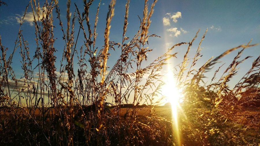 Sunshine Glare Field Grasses Sun Golden Hour Evening Sun Walking Nature No People Chichester Harbour Sun Through Grasses Bright Sunlight Showcase July