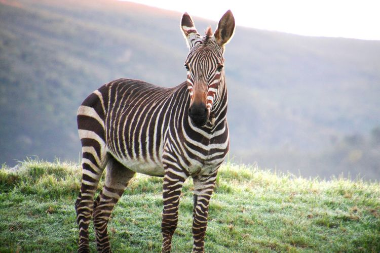 Portrait of zebra standing on grass