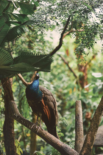 Jurong Bird Park Bird Avian Animal Wildlife Animals In The Wild Animal Themes Animal Vertebrate One Animal Tree Perching Plant Branch Focus On Foreground Nature Day No People Beauty In Nature Outdoors Growth Forest Peacock Tree Feather  Springtime Decadence