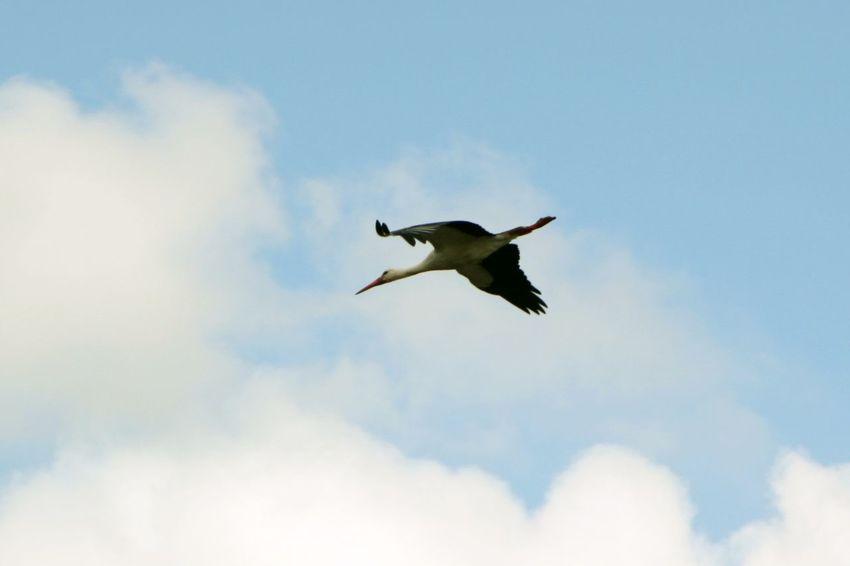 Red Nose Störche Travelling Zugvögel Cloud - Sky Flying Spread Wings Stork Wings Wings Spread Go Higher