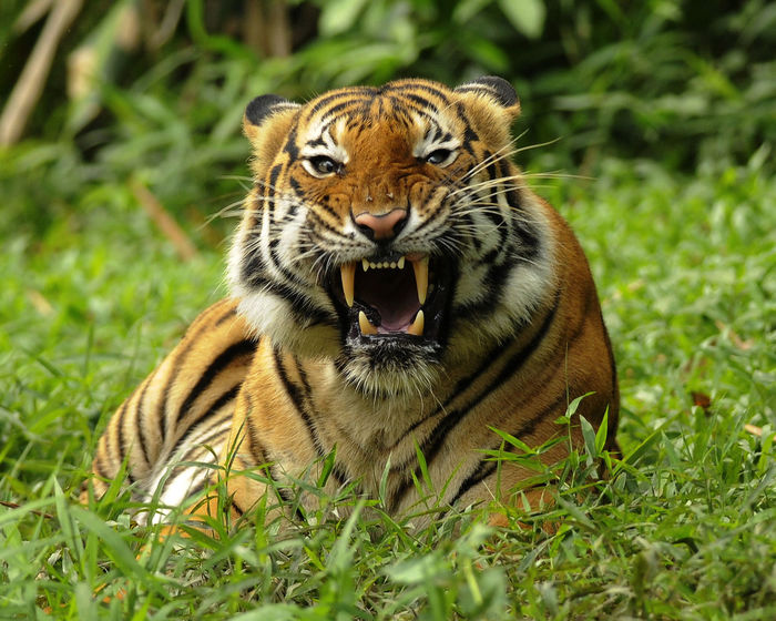 Angry Snarling Tigers Animal Themes Animal Wildlife Animals In The Wild Close-up Day Grass Mammal Nature No People One Animal Outdoors Portrait Snarl Teeth Tiger Tiger Face