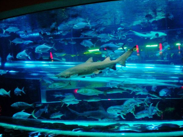 Sharks Sharktank Las Vegas Aquarium At The Hotel Fishtank