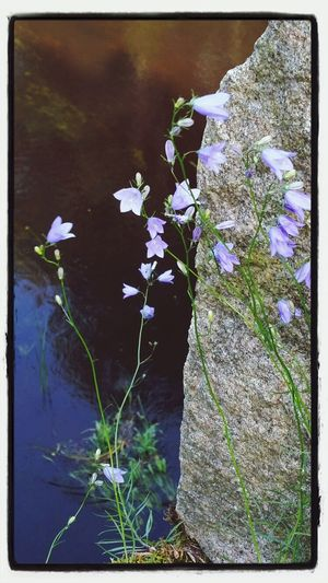 Flowers Water Reflections Blue Summer