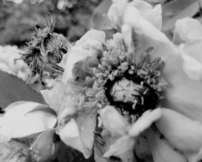 Blackandwhite Black And White EyeEm Selects Flower Close-up Blooming Petal In Bloom Single Flower Single Rose Fragility Botany