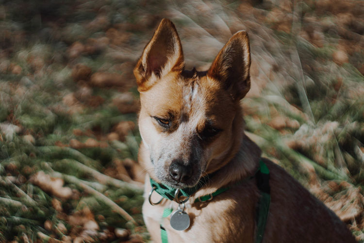 One Animal Dog Canine Domestic Domestic Animals Mammal Pets Animal Themes Animal Vertebrate Focus On Foreground Day No People Nature Land Field Portrait Collar Looking Pet Collar Outdoors Animal Head