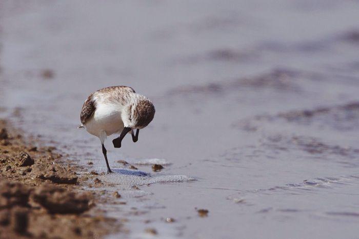 Spoony!! 1 of last 400 in the world. Spoonbills Spoonbill Sandpiper Shorebirds FAR AWAY FROM HOME Savetheplanet SaveAnimals Savethebird Savetheearth