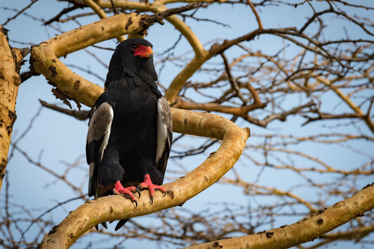 Eagle Tree Bateleur Bateleur Eagle Bird Bird Of Prey Branch Perched Wildlife