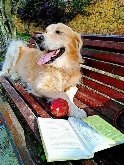Animal Themes One Animal High Angle View Domestic Animals Mammal Pets Sitting Day No People Outdoors Dog Golden Retriever Golden Dog❤ Dogslife Dogfriend Reading Dogrelaxing Dogstile Intelligent