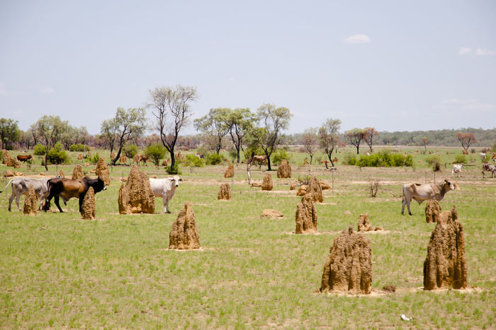 Termite Mounds - Kimberley - Australia Ant Hill Australia Kimberley Domestic Animals Field Nature Termite Termite Mound