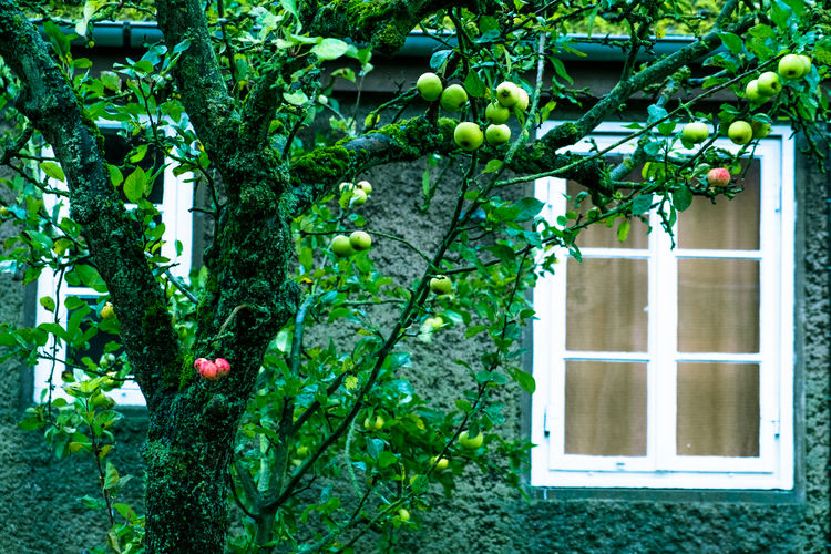 Red or green Apple Appletree Autumn Autumn Colors Fresh On Eyeem  Freshness Green Lübeck White Frame Wood Curtain Fruit Grey Healthy Eating House Moss Window