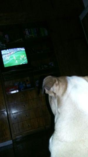 English Bulldog Bulldog mirando Riverplate vs Guarani