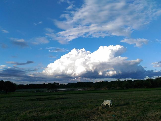 A huge cloud :) ~ Agriculture Farm Rural Scene Landscape Sky Nature Outdoors Day Animal EyeEm Nature Lover Freshness Afternoon Sky Taking Random Pictures  EyeEm Taking Photo Of Beauty In Nature Nature Fresh On Eyeem  EyeEm Best Shots Afternoon Cow Cloud - Sky No People EyeEmNewHere