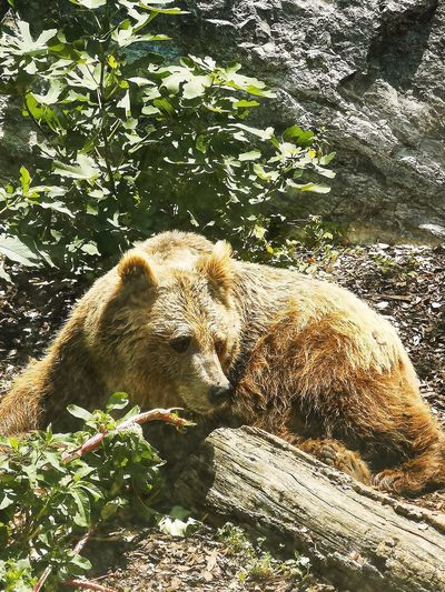 Bear Zoo Animal Animal Themes Orso Sunlight Shadow High Angle View Close-up Grizzly Bear