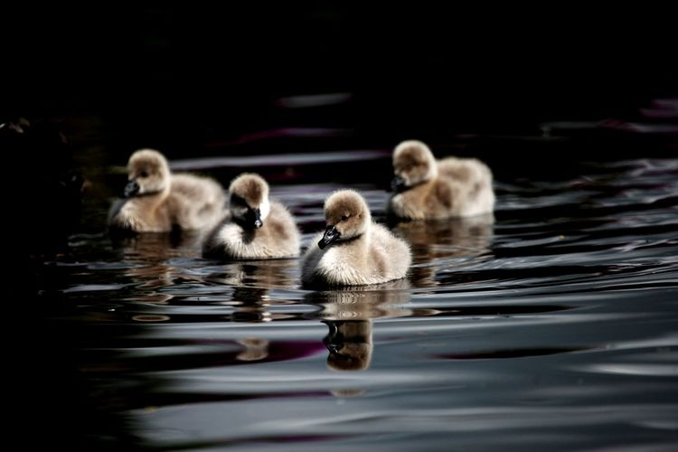 A small group of black swan cygnets