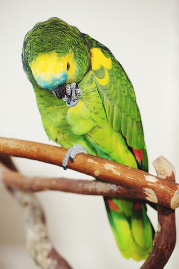 Amazon parrot Blue-fronted Amazon Blue-fronted Parrot Cute Pets Green Color Amazon Amazon Parrot Perching Bird Parrot Pets Branch Close-up Tropical Bird
