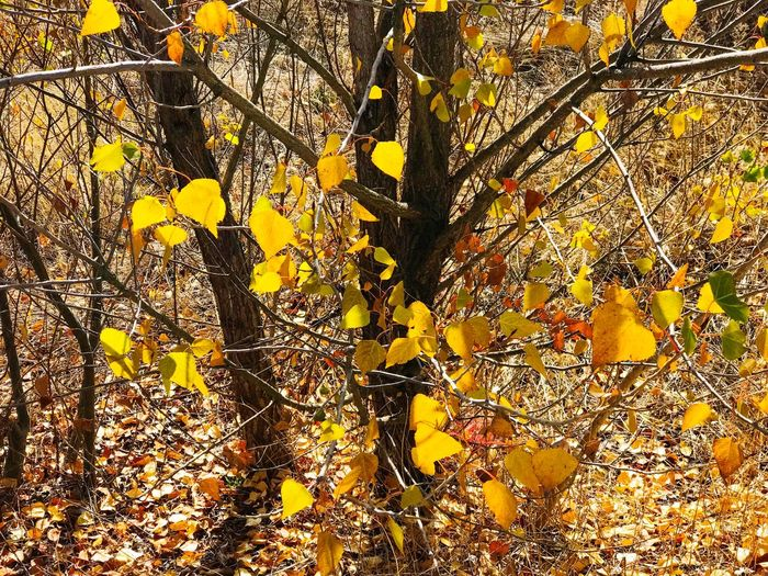 Autumn Autumn Colors Autumn Leaves Environment Yellow Branch Tree Popplar Poplar Poplar Tree Populus Populus Nigra Fall Fall Leaves Leaves Leaf Autumn Nature Growth Fragility Beauty In Nature Color Sunlight Season  Backgrounds