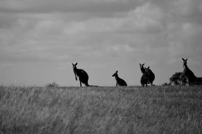 Kangaroos on grass against sky