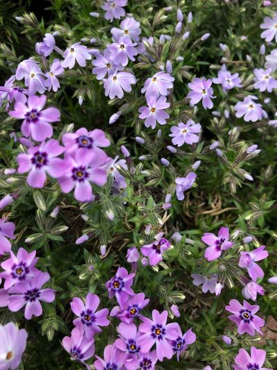 Flowering Plant Flower Vulnerability  Fragility Plant Freshness Beauty In Nature Petal Growth Nature Flower Head Inflorescence Day Pink Color Close-up No People High Angle View White Color Outdoors Purple