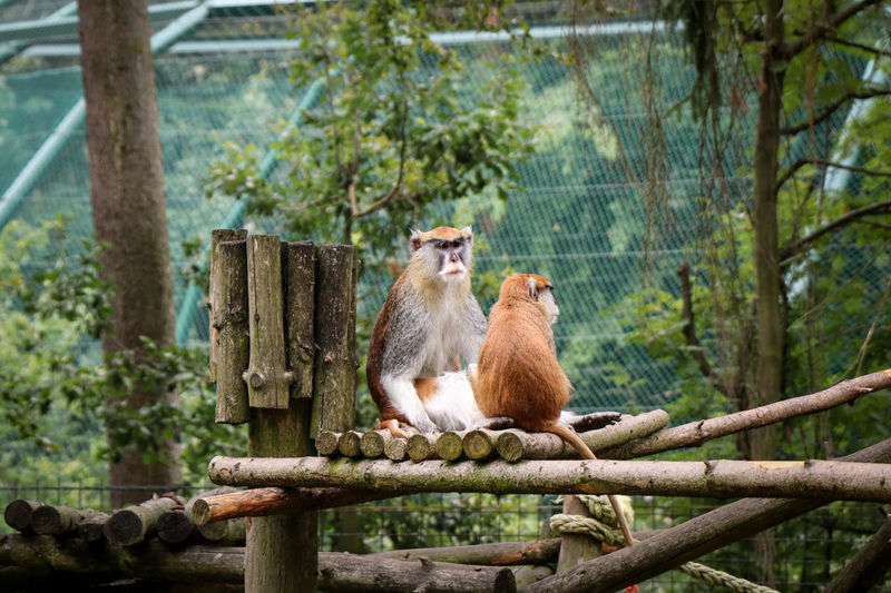 Two males hussar monkey herds sitting on a tall branch and looking at their relatives.