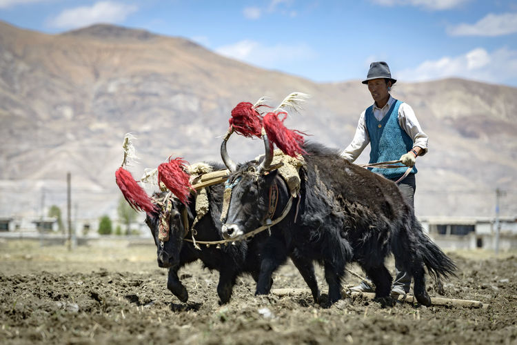 Farmer with yaks harvesting farm against mountain