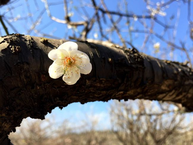 Nature Growth Flower Beauty In Nature Fragility Springtime Close-up Outdoors Blossom Tree Sky Freshness Branch Flower Head Day No People Plant Plum Blossom
